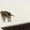 Hawks in Compton Heights-2266
