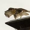 Hawks in Compton Heights-2249