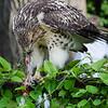 Hawk eats pigeon 060413 -3