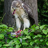 Hawk eats pigeon 060413 -4
