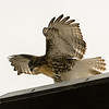 Hawks in Compton Heights-2259