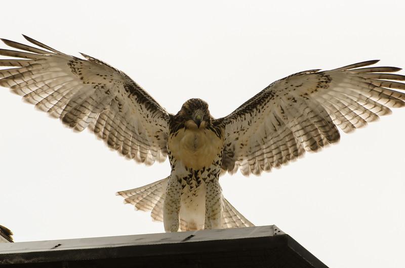Hawks in Compton Heights-2228