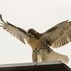 Hawks in Compton Heights-2227