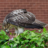 Hawk eats pigeon 060413 -7