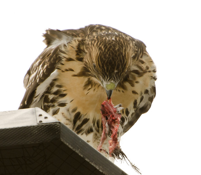 Hawks in Compton Heights-2160