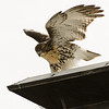 Hawks in Compton Heights-2257