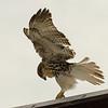 Hawks in Compton Heights-2264