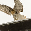 Hawks in Compton Heights-2262