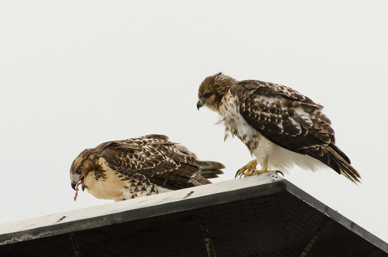 Hawks in Compton Heights-2121