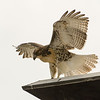 Hawks in Compton Heights-2205