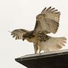 Hawks in Compton Heights-2205