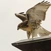 Hawks in Compton Heights-2202