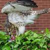 Hawk eats pigeon 060413 -8