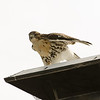 Hawks in Compton Heights-2255
