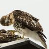 Hawks in Compton Heights-2137