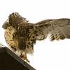 Hawks in Compton Heights-2165