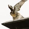 Hawks in Compton Heights-2258