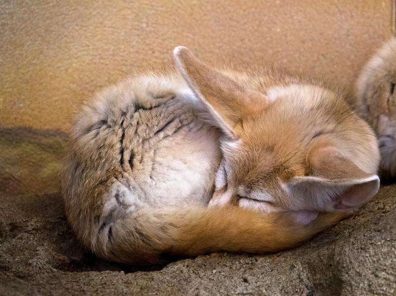 Sleepingfox
