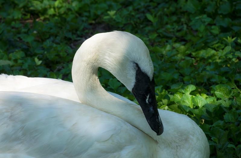 Swan8