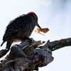Red-Bellied Woodpecker Enjoys A Frog