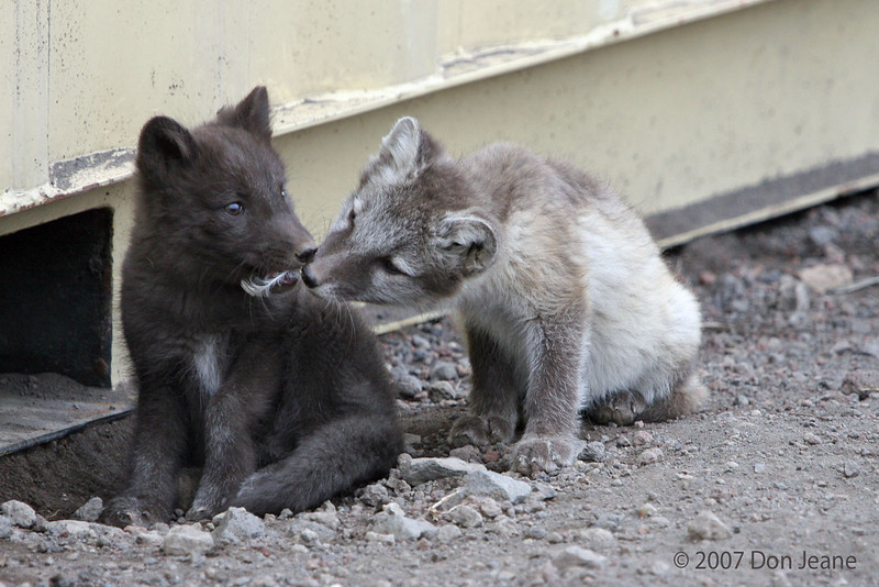 """Arctic Fox kits - under the freight containers at the harbour. """"I think I need that!"""""""