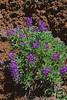 Spurred lupine (Lupinus laxiflorus).