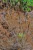 Bottlebrush squirreltail grass (Elymus elymoides).