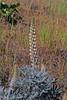 Velvet lupine (Lupinus leucophyllus), white form.