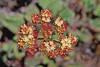 Northern buckwheat (Eriogonum compositum var. compositum).