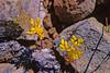 Leiberg's stonecrop (Sedum leibergii).