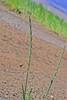 Bluebunch wheatgrass (Pseudoroegneria spicata).