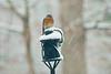 Winters inevitable Spring - Bluebird huddles