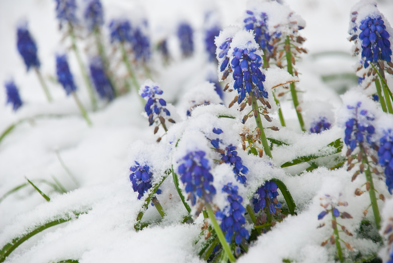 Winters inevitable spring - Hyacinth Muscari chilled