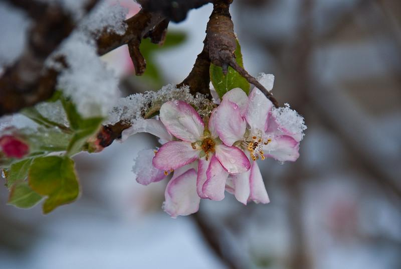 Winters inevitable spring - Granny smith blossoms resume