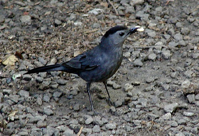 Happy the Catbird Cute little guy who came around the campsite to check us out and mooch tidbits.