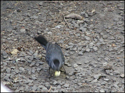 Catbird eating a bite of bread I fed him