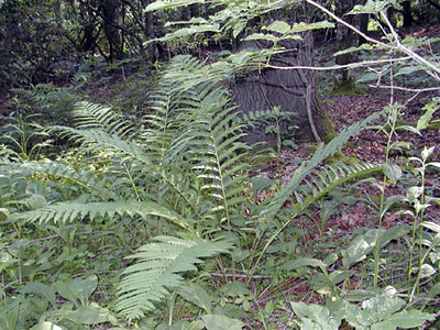 Log Ferns? near the campsite Standing Indian Campground, NC