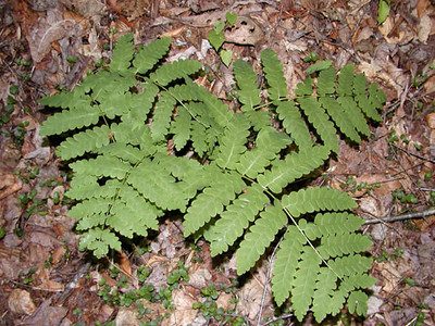 Royal Fern  Kimsey Creek Trail Nantahala NF, NC 6/23/07