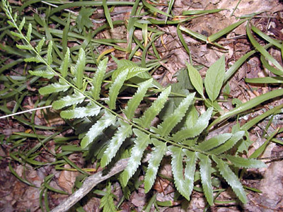 Fern with leathery leaves what is this one? Kimsey Creek Trail at the edge of a meadow Nantahala NF, NC
