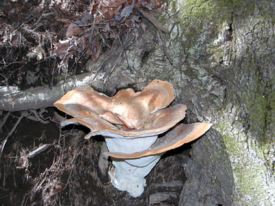 Large interesting mushroom growing on a tree  Kimsey Creek Trail Nantahala NF, NC