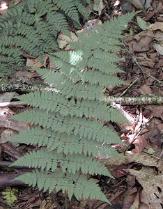 Hay-scented Fern growing near our campsite Standing Indian Campground, NC