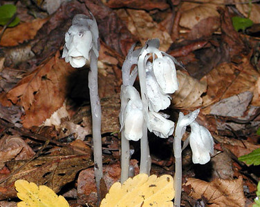 Indian Pipes growing near our campsite was a large cluster of these plants Monotropa uniflora Ericaceae Standing Indian Campground, NC