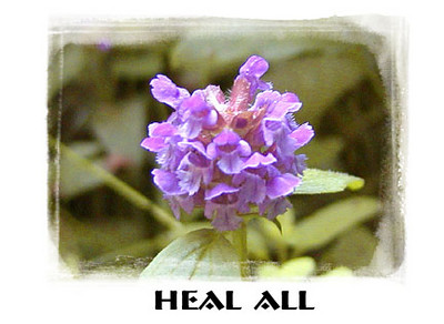 Heal All<br /> Prunella vulgaris<br /> Lamiaceae <br /> There was a massive colony of these beautiful, humble little flowers growing near our campsite.<br /> Standing Indian Campground, NC<br /> 6/22/07