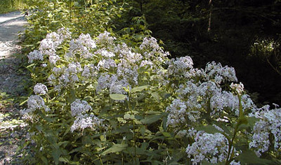Large colonies of Bouncing Bet or soapwort growing along FS 71 on the ride to Deep Gap Saponaria officinalis Caryophyllaceae Nantahala NF, NC