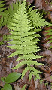 New York Fern growing near our campsite Standing Indian Campground, NC