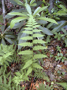 Interrupted Fern ?near campsite Standing Indian Campground, NC