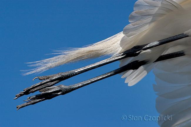 Great Egret Flying Feet (St. Augustine Alligator Farm)