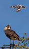 Loggerhead Shrike attacking a Crested Caracara (Kissimmee Prairie Preserve)