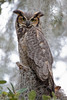Great Horned Owl adult (Clearwater)