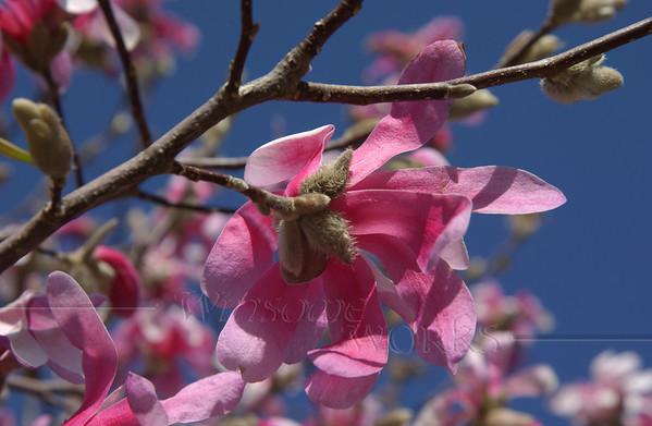 Star Magnolia (Magnolia stellata)